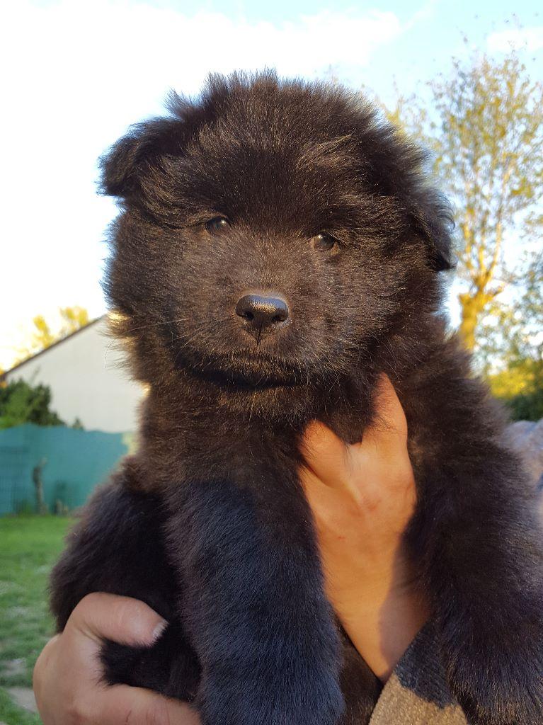 Chiot Eurasier, JAUNE - NOUMEA, femelle disponible en Ile