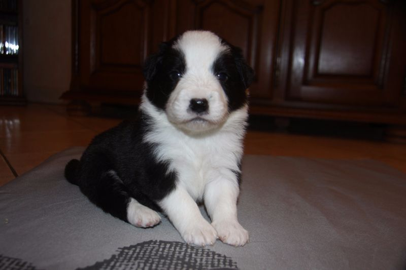 Of Wind In Silver Creek - Chiot disponible  - Border Collie