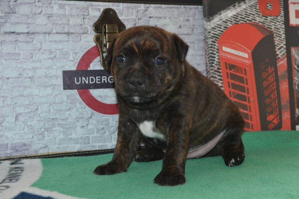 Little North Stafford Pooh Bear - Staffordshire Bull Terrier