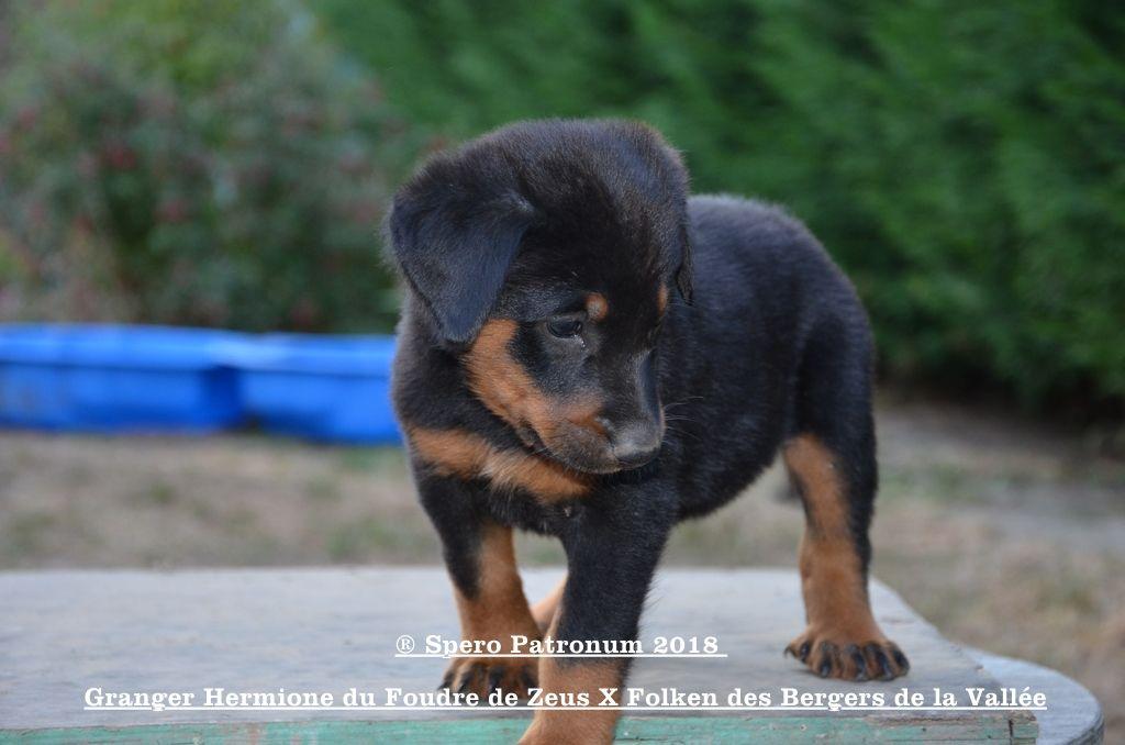 Du Spero Patronum - Chiot disponible  - Berger de Beauce