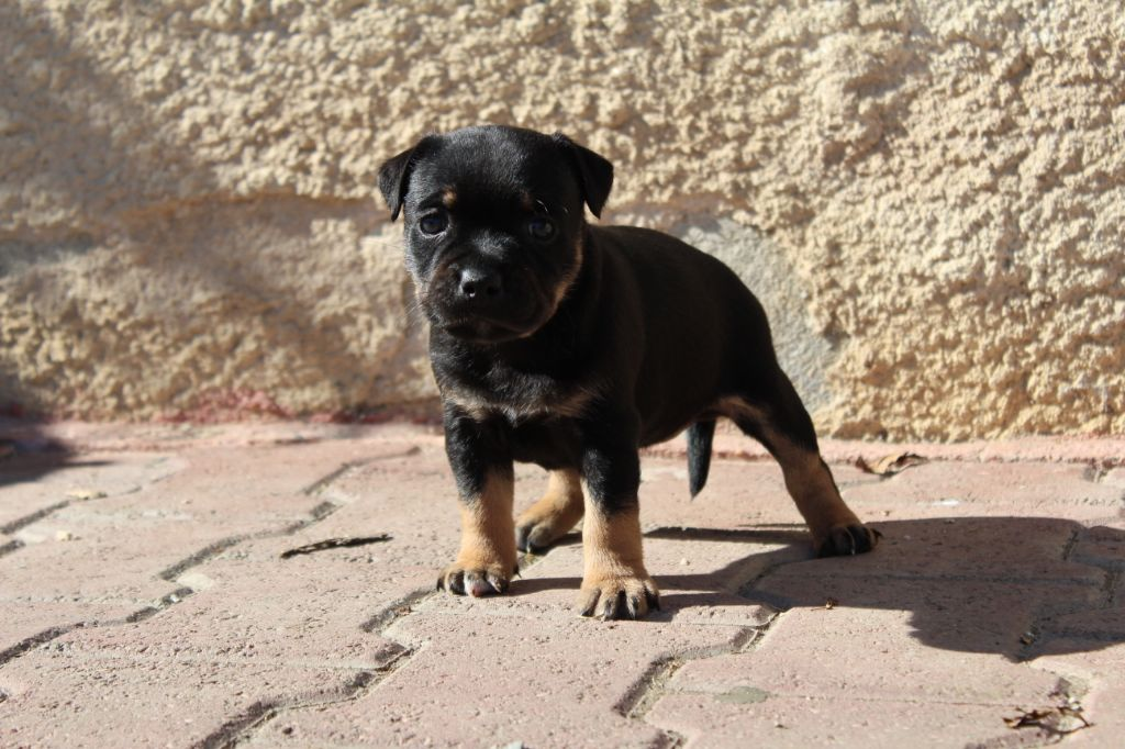 Of The Red And Black Angels - Chiot disponible  - Staffordshire Bull Terrier