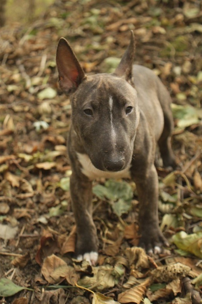 Aristocratie De Paris - Chiot disponible  - Bull Terrier Miniature