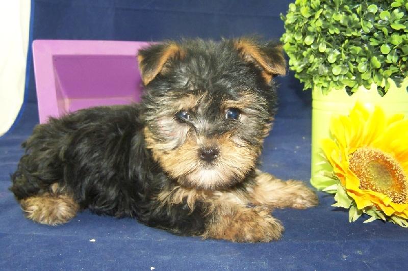 Chiot Yorkshire Terrier, Mi amor, femelle disponible en