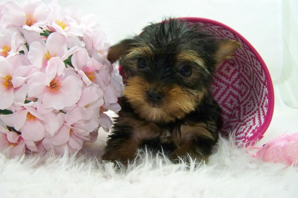 Chiot Yorkshire Terrier, CHIOT petite , femelle disponible