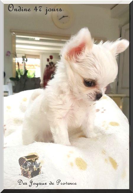 Des Joyaux De Provence - Chiot disponible  - Chihuahua