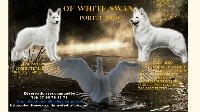 Berger Blanc Suisse - Of White Swan