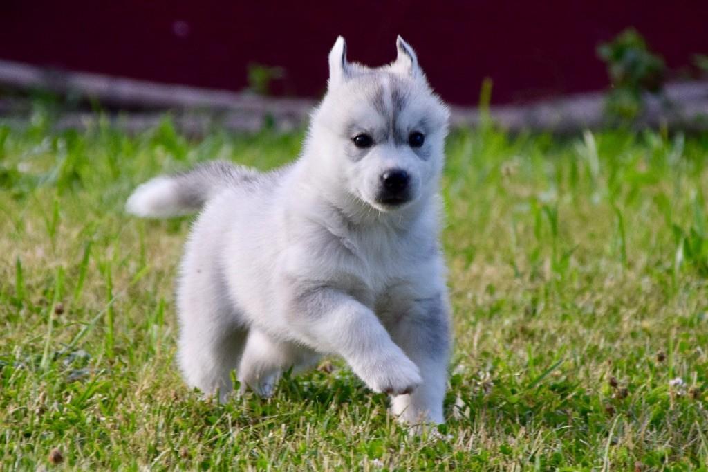 Of Eternal Nordic Stars - Chiot disponible  - Siberian Husky