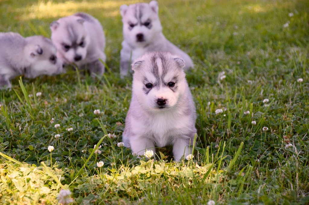 Of Eternal Nordic Stars - Chiot disponible  - Siberian Husky