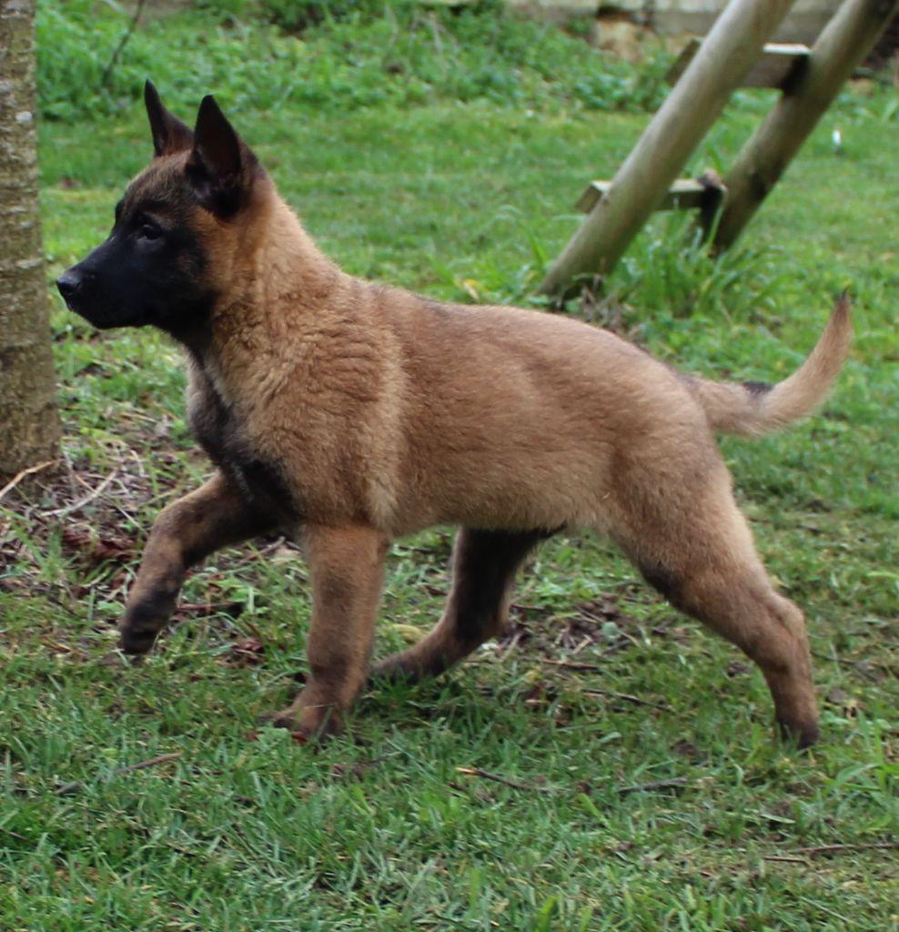 Chiot - Elevage Des Gardiens De La Cigogne - eleveur de chiens Berger Belge