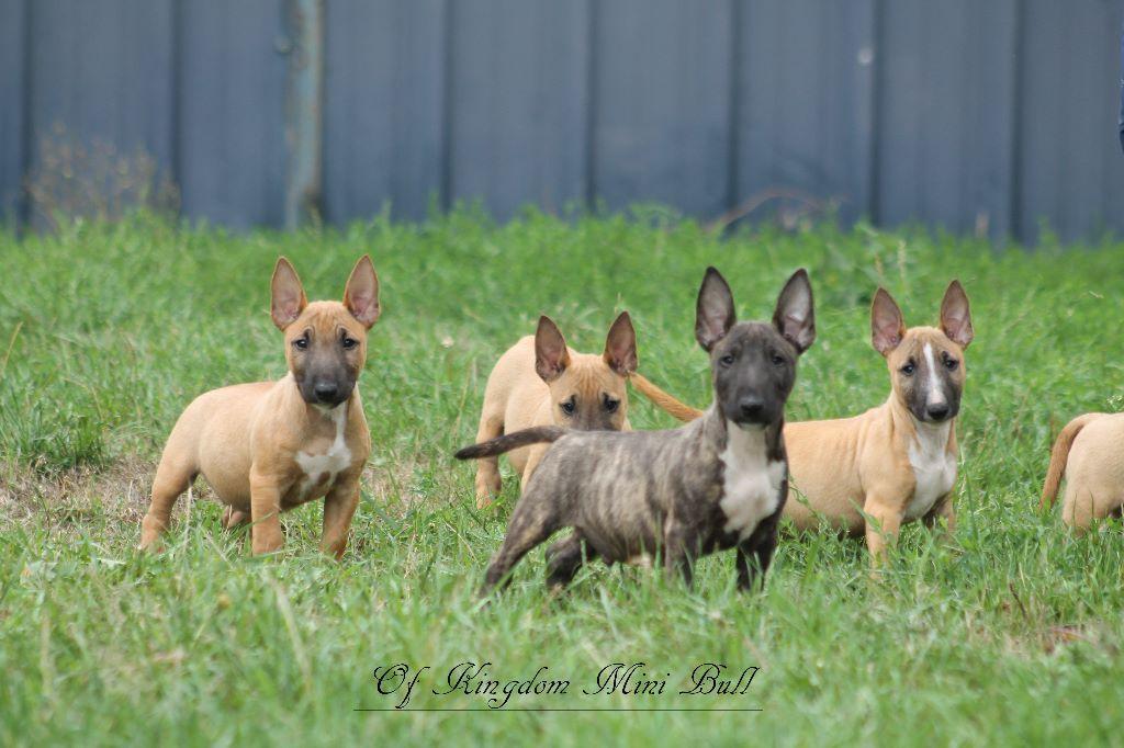 Of Kingdom Mini Bull - Chiot disponible  - Bull Terrier Miniature