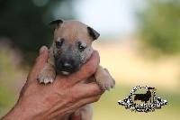 Bull Terrier Miniature - Of Kingdom Mini Bull