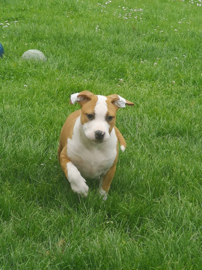 CHIOT 3 - American Staffordshire Terrier