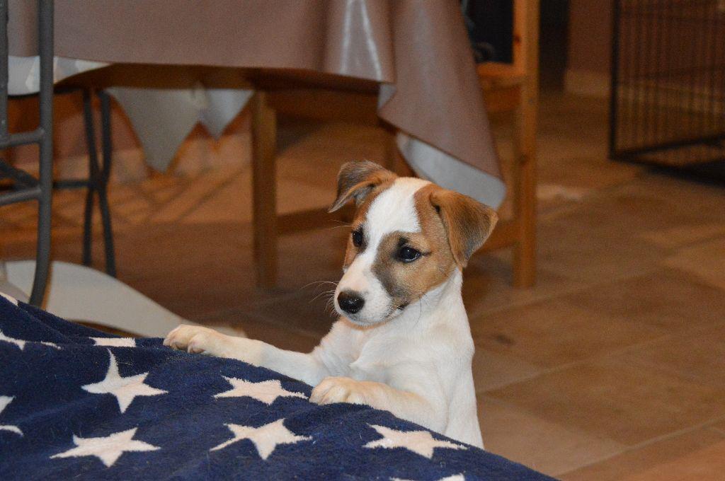 Du Mont Des Sapins Blancs - Chiot disponible  - Jack Russell Terrier