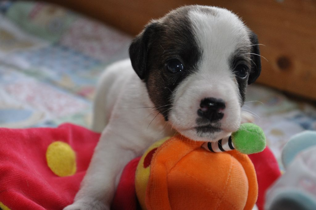 Male 5 - Jack Russell Terrier
