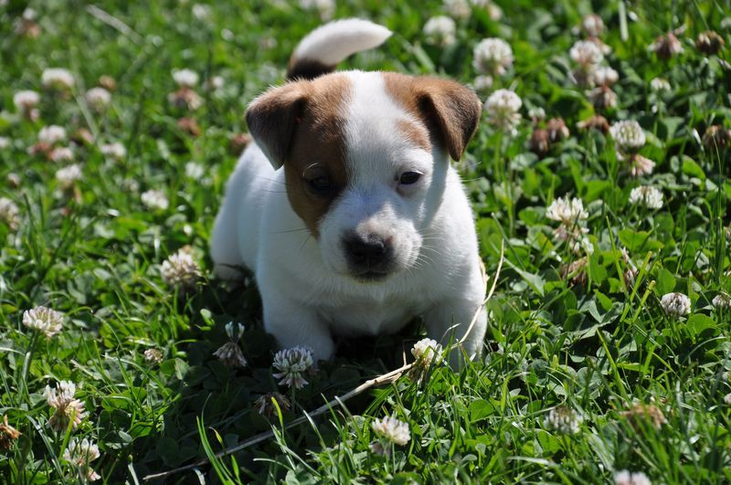 Du Giron - Chiot disponible  - Jack Russell Terrier