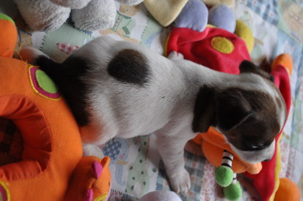 Male 2 - Jack Russell Terrier
