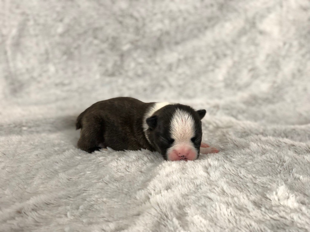 Chan Chue - Chiot disponible  - Boston Terrier