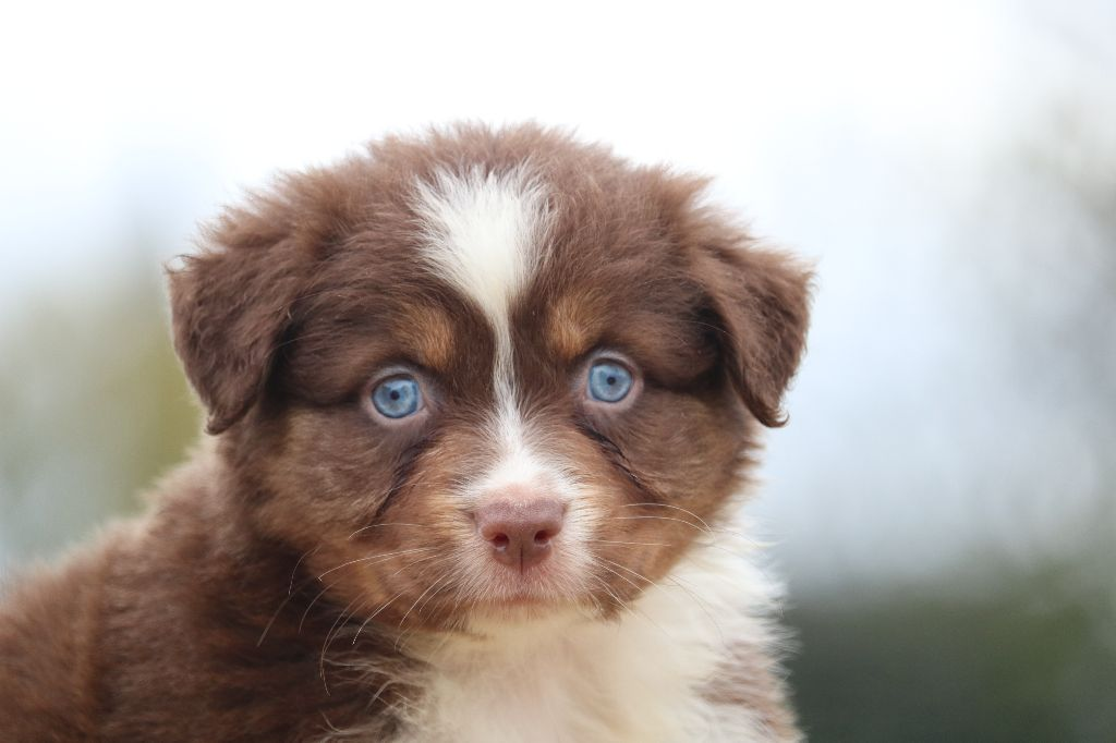 Of Gold In The Heart - Chiot disponible  - Berger Australien