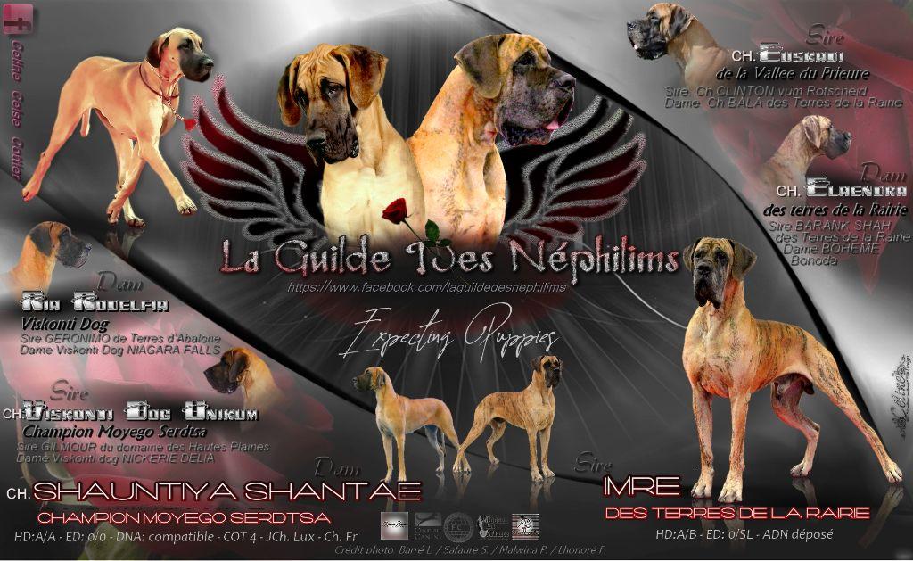 chiot Dogue allemand De La Guilde Des Néphilims