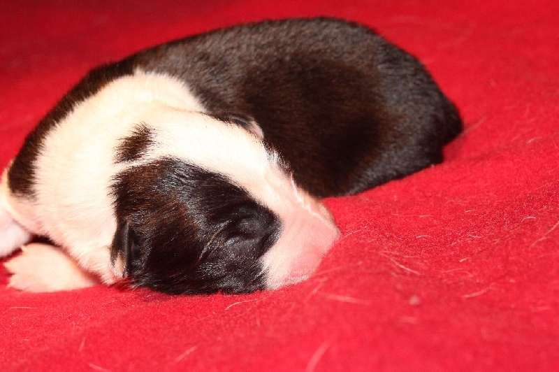 Du Saphir De Gandja - Chiot disponible  - Border Collie