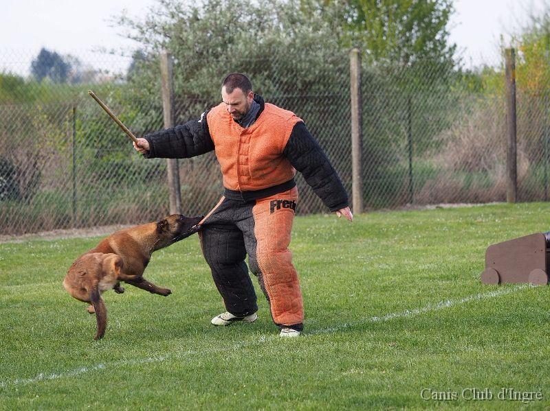 dressage chien ingre