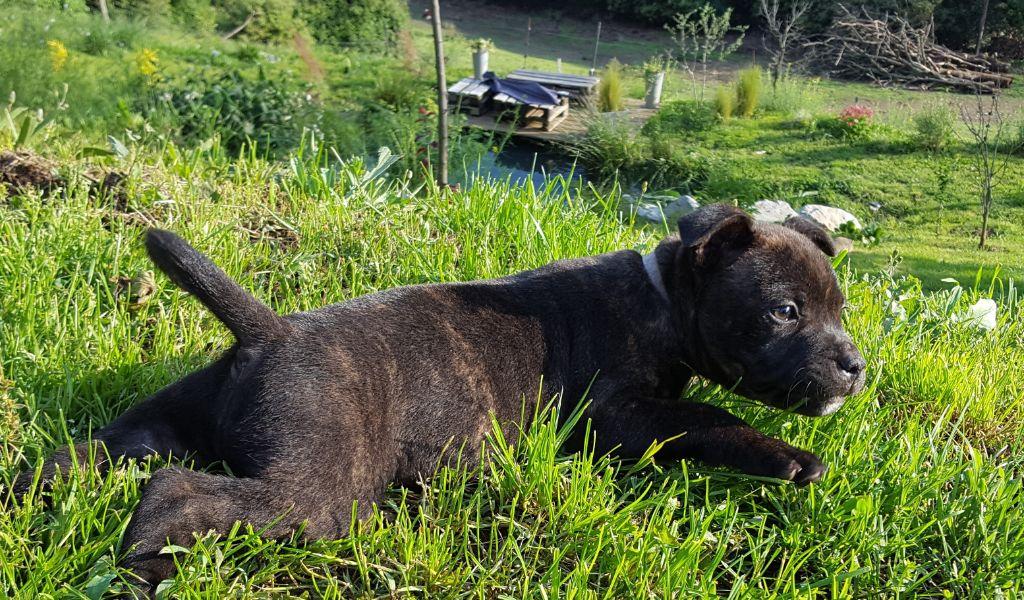 OLAF dit TAYSON - Staffordshire Bull Terrier