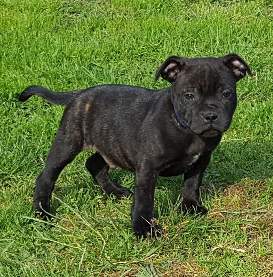O'NIL dit OXO - Staffordshire Bull Terrier