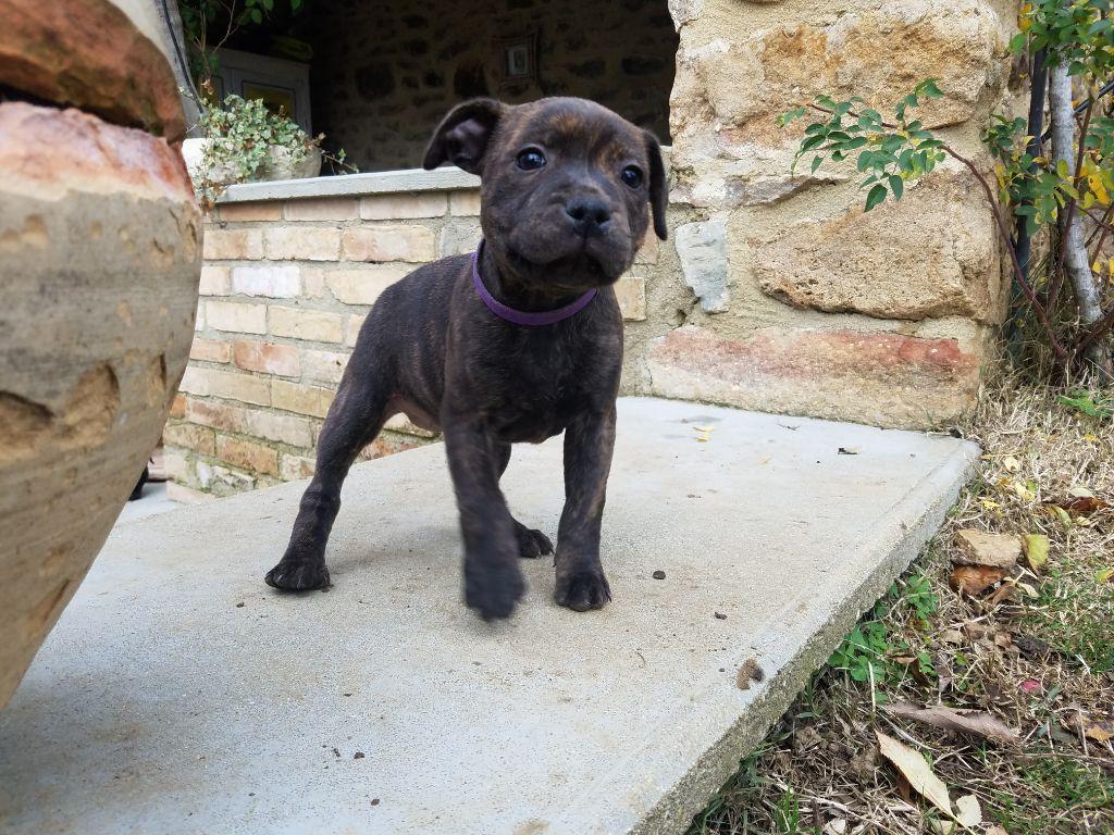Des Terres D'Hellah - Chiot disponible  - Staffordshire Bull Terrier