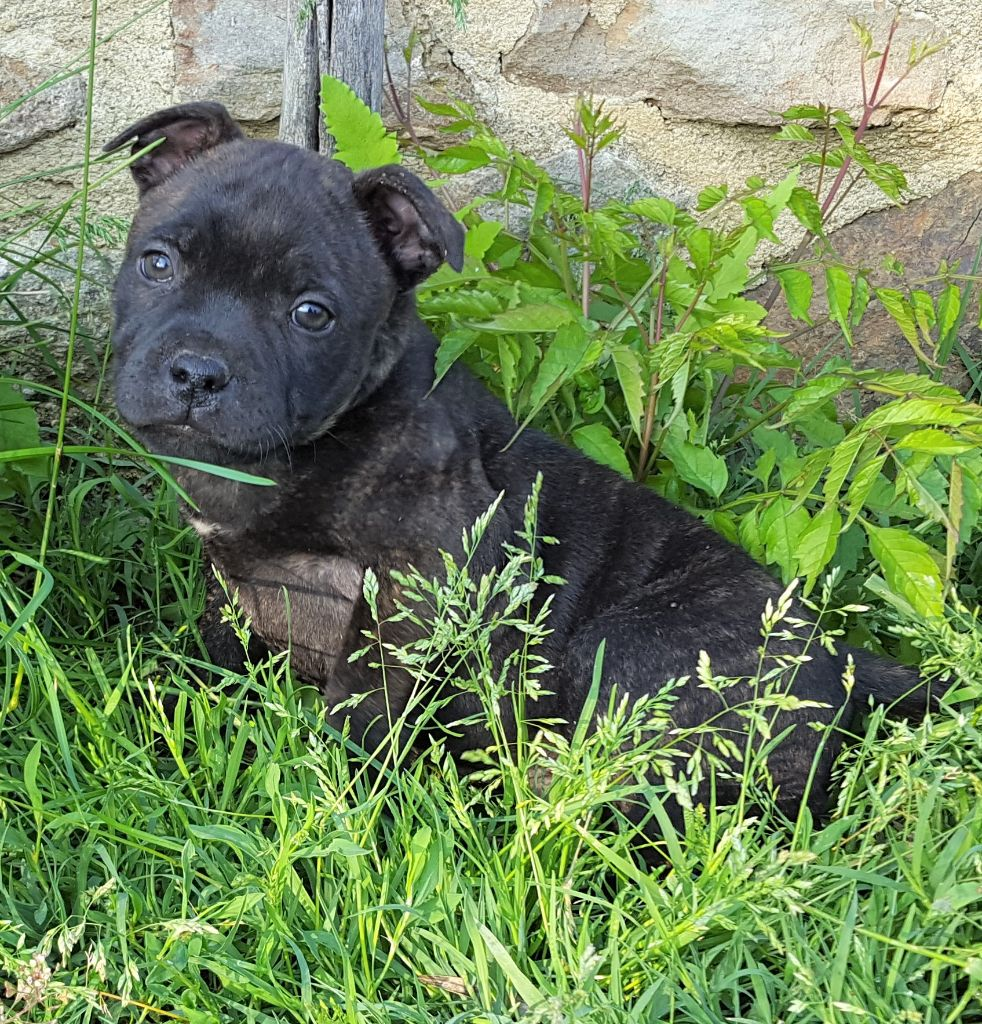 OGGY - Staffordshire Bull Terrier
