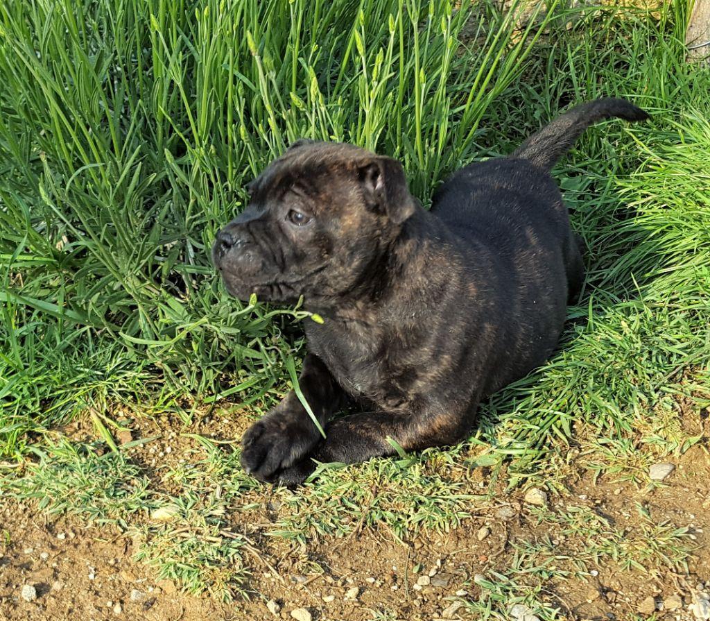 OLLY - Staffordshire Bull Terrier