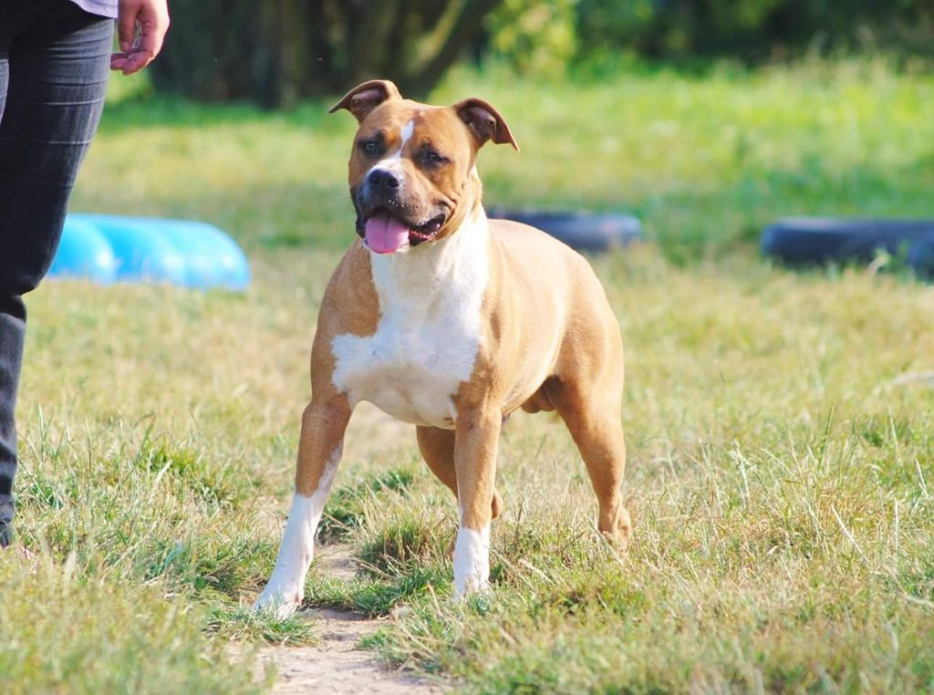 Punisher long step American Staffordshire Terrier