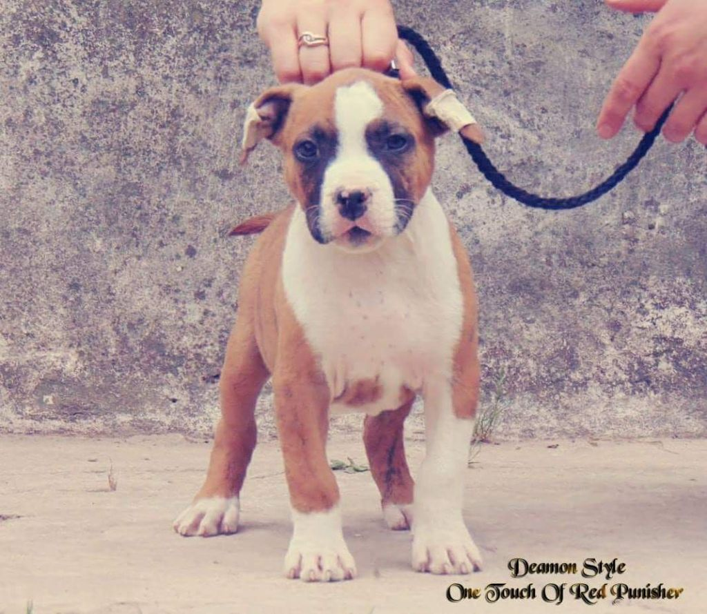 One Touch Of Red Punisher  - American Staffordshire Terrier