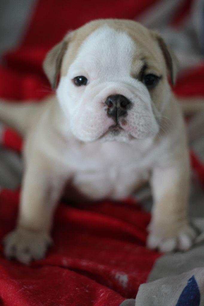 the gang of bull docker - Chiot disponible  - Bulldog Anglais