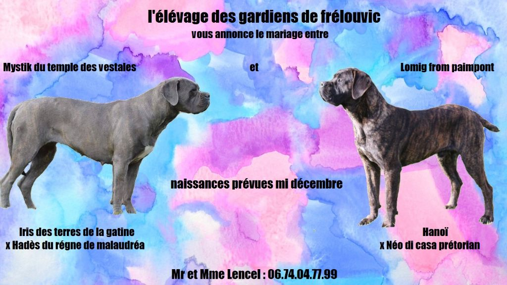 Des Gardiens De Frélouvic - Chiot disponible  - Cane Corso