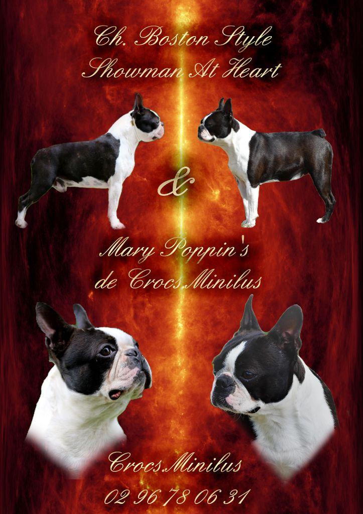 de Crocs Minilus - Chiot disponible  - Boston Terrier
