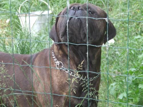 Doggy Dog Cyrius black