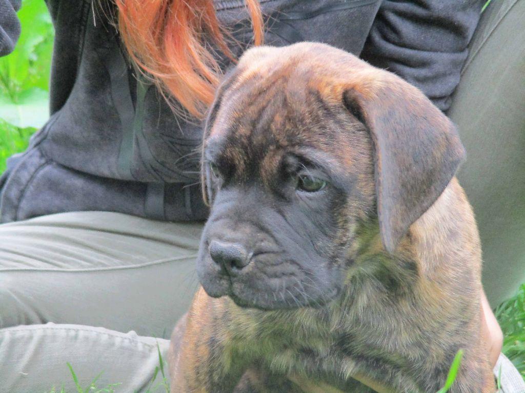 Doggy Dog - Chiot disponible  - Bullmastiff