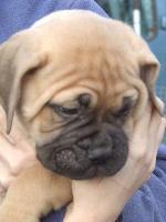 Doggy Dog - Bullmastiff - Portée née le 28/01/2015