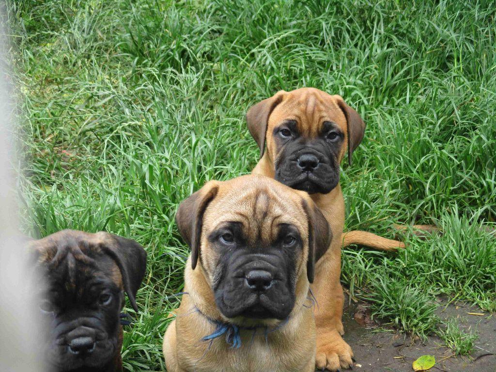 Doggy Dog - Bullmastiff - Portée née le 06/04/2018