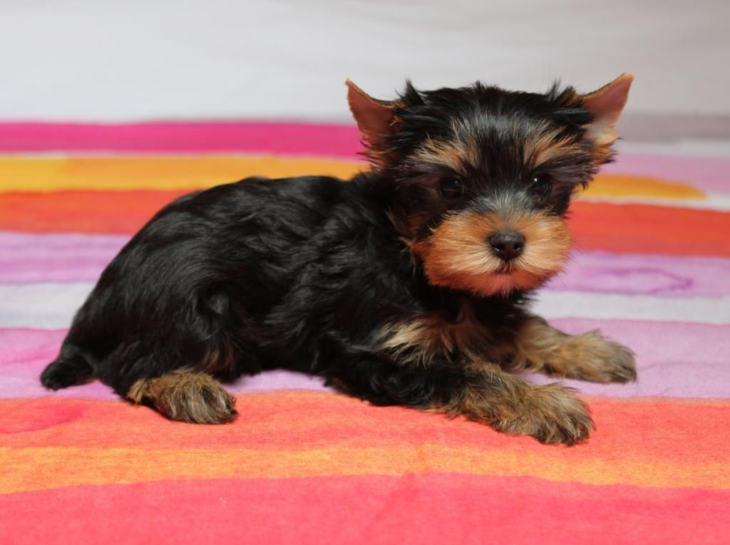 OLIVER TWIST - Yorkshire Terrier