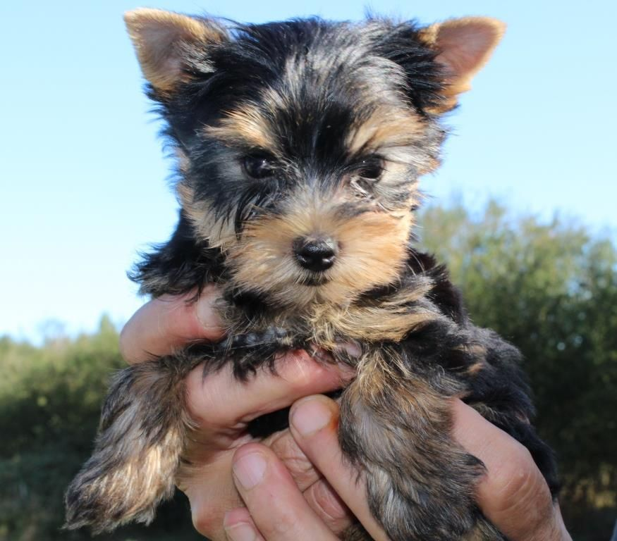 OLAF - Yorkshire Terrier