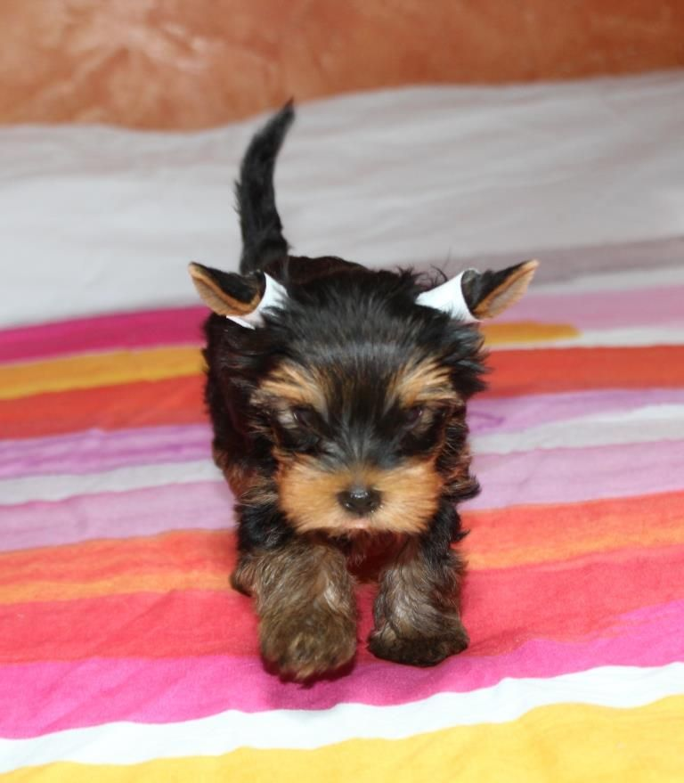 OSLO - Yorkshire Terrier