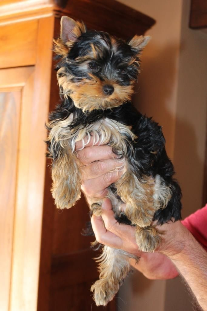 PEPITO - Yorkshire Terrier