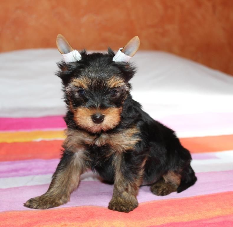 OSWALD - Yorkshire Terrier