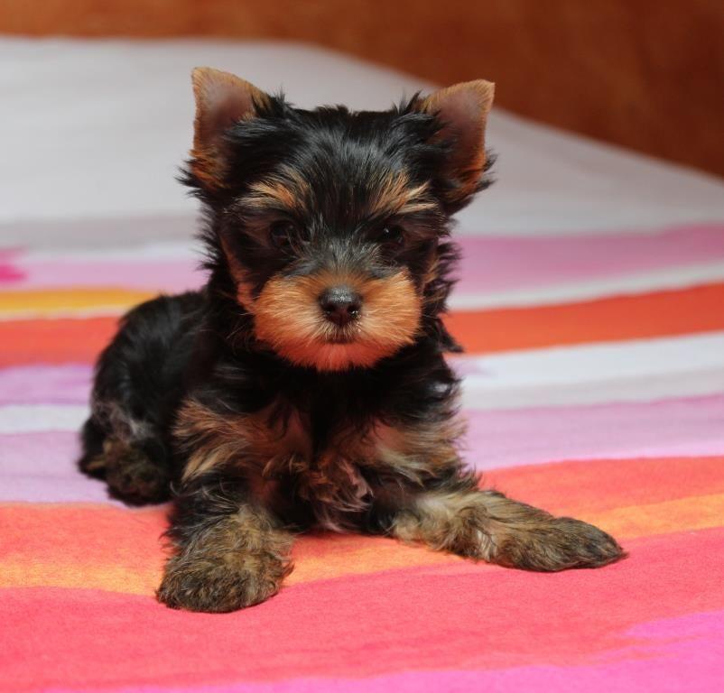 du Petit Monterac - Chiot disponible  - Yorkshire Terrier