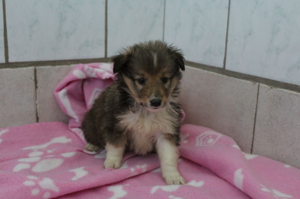 Des dames Chanoinesses - Chiot disponible  - Shetland Sheepdog