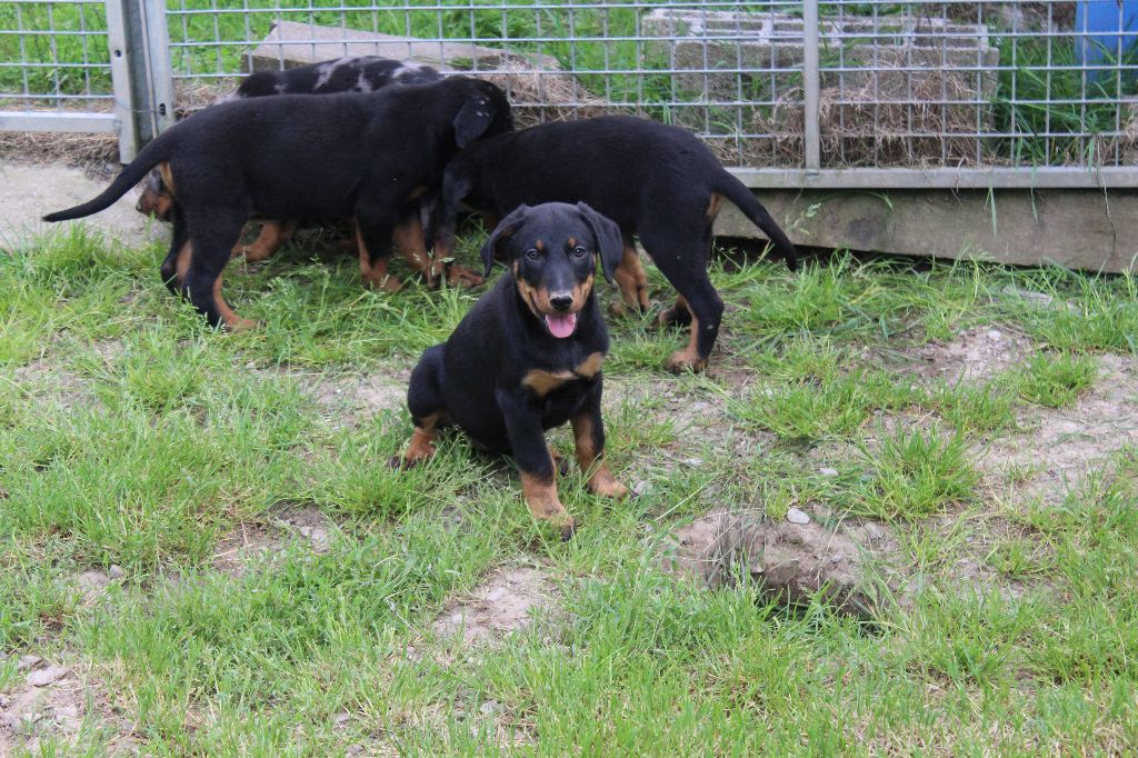 Des dames Chanoinesses - Chiot disponible  - Berger de Beauce