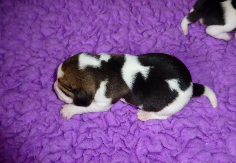 CHIOT femelle 2 - Beagle