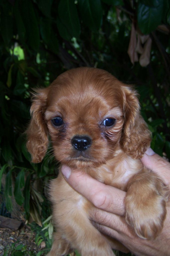 POP CORN - Cavalier King Charles Spaniel