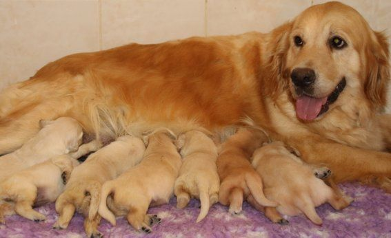 Du clos de nissa-bella - Chiot disponible  - Golden Retriever